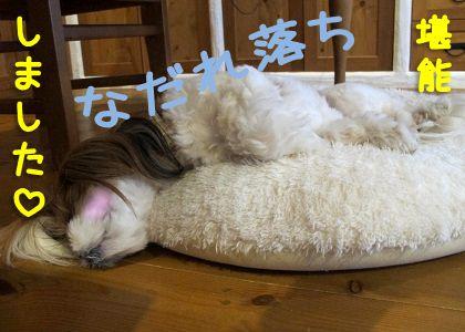 なだれ落ちて寝るシーズー犬まろん