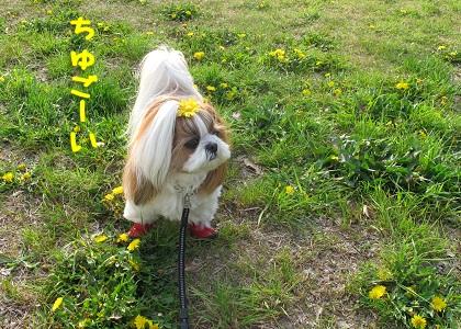 黄色いたんぽぽ畑に感動するシーズー犬まろん