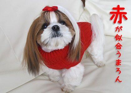 赤が似合うシーズー犬まろん