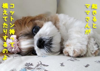 寝起きの目やに取りを待ちかまえられているシーズー犬まろん