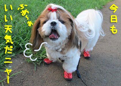 晴れの日にの水玉の犬靴を履くシーズー犬まろん