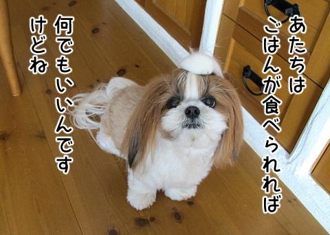 スヌードのデザインに興味のないシーズー犬まろん