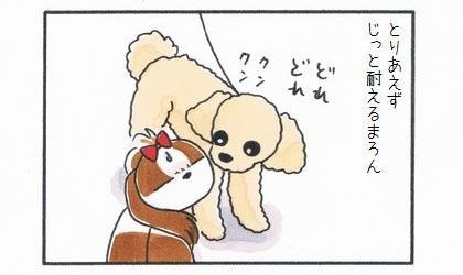 とりあえずじっと耐える犬。トイプードルが顔の臭いを嗅いでくる