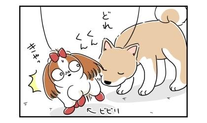 どれ、とシーズーのお尻の臭いを嗅ぐ柴犬。きゃっ、と驚くビビリなシーズー