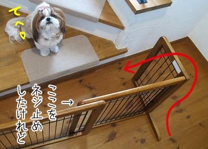 階段ゲートを突破したシーズー犬まろん2
