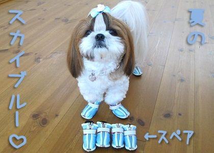 スカイブルーの犬靴とシーズー犬まろん