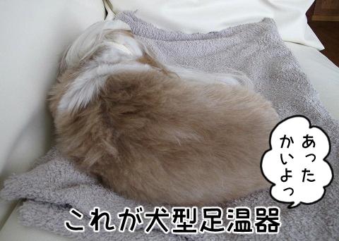 犬型足温器と化したシーズー犬まろん