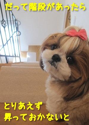 階段好きなシーズー犬まろん