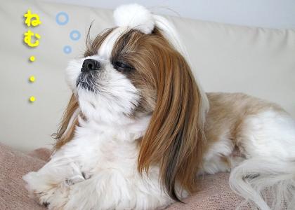 飼い主のお腹の上で眠そうなシーズー犬まろん