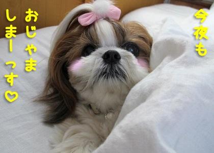 枕の上がベストポジションなシーズー犬まろん