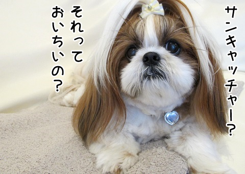 サンキャッチャーに興味のないシーズー犬まろん
