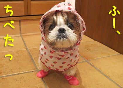 犬用レインコートと犬用レインブーツでもびしょぬれのシーズー犬まろん