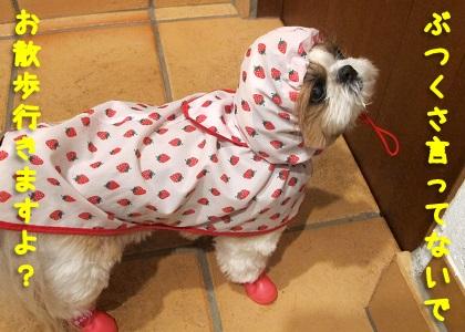 シャンプーした翌日でもお散歩をかかさないシーズー犬まろん