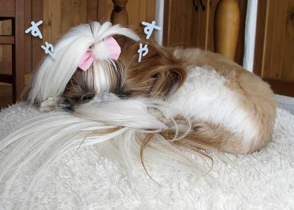 外耳炎持ちのシーズー犬まろんもスッキリ