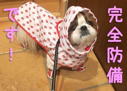 犬用レインコートで完全防備のシーズー犬まろん