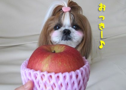 高級りんごとシーズー犬まろん