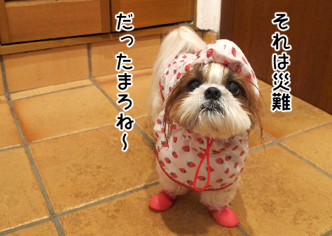 雨の中散歩を堪能したシーズー犬まろん