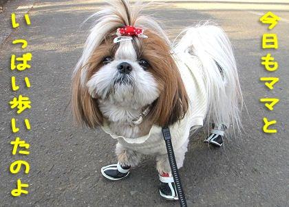 犬靴を履いたシーズー犬まろん