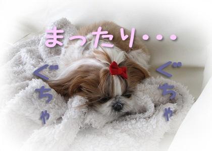 毛布の上で寝るシーズー犬まろん