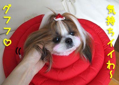 エリザベスカラー装着で耳をかいてもらうシーズー犬まろん