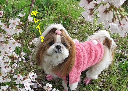 シーズー犬まろんと桜1