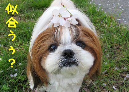 落ちた桜の花をのせたシーズー犬まろん