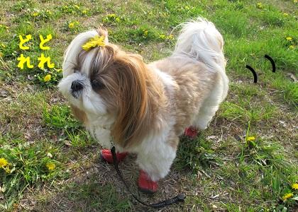 たんぽぽ畑を散策するシーズー犬まろん
