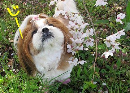桜を見上げるシーズー犬まろん
