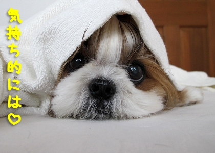 パパに寄り添って寝たいシーズー犬まろん
