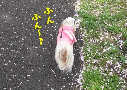 シーズー犬まろんと桜7