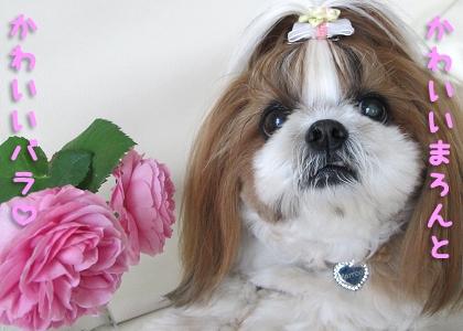 シーズー犬まろんとバラ