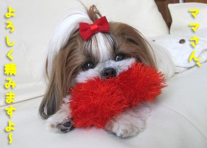 おもちゃで元気に遊ぶシーズー犬まろん