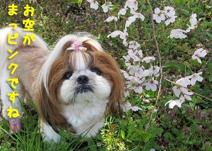 桜とシーズー犬まろんのツーショット