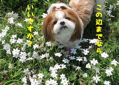 ハナニラ畑のシーズー犬まろん3