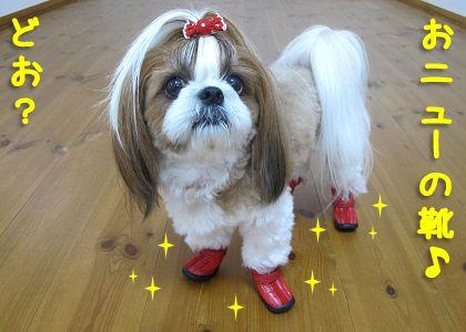 厚底の犬靴を履いたシーズー犬まろん
