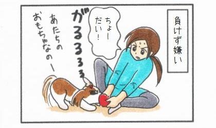 負けず嫌い。犬と飼い主とでおもちゃの取り合い。ちょーだい!あたちのおもちゃなのー