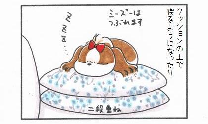 犬がクッションの上で寝るようになったり。クッション二段重ねで寝る犬。シーズーはつぶれます