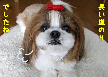 ちょうどいいサイズの犬服を買ってもらったシーズー犬まろん
