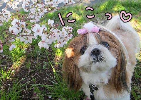 桜の枝とシーズー犬まろん