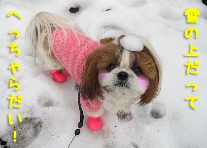 犬用レインブーツにご機嫌のシーズー犬まろん