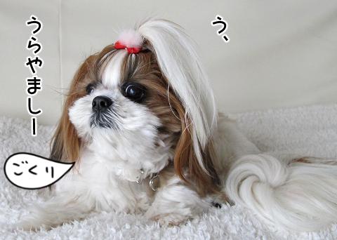 納豆ごはんが羨ましいシーズー犬まろん