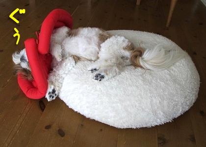 なだれ落ちながらお手上げゲームで寝るシーズー犬まろん
