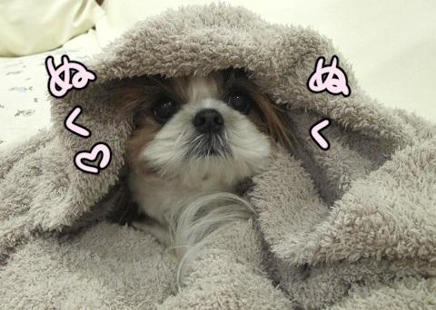 毛布を掛けてもらったシーズー犬まろん