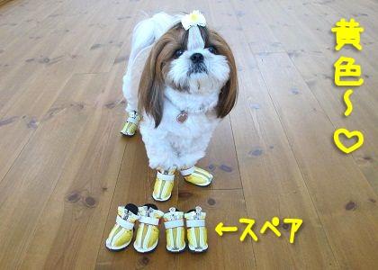 黄色い犬靴とシーズー犬まろん