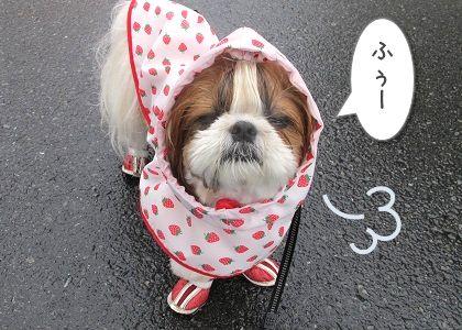 犬用レインコートを着て立ち止まるシーズー犬まろん