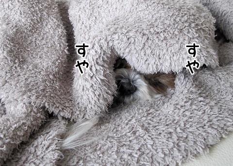 ぐっすりと眠るシーズー犬まろん