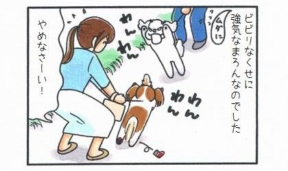 ビビリなくせに無駄に強気な犬なのでした。やめなさ~い!二本足で立って吠えるマルチーズ
