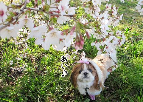 桜を眺めるシーズ犬まろん