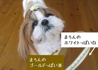 シーズー犬まろんの毛色に似たリード