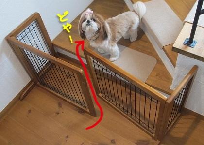 階段ゲートを突破したシーズー犬まろん1